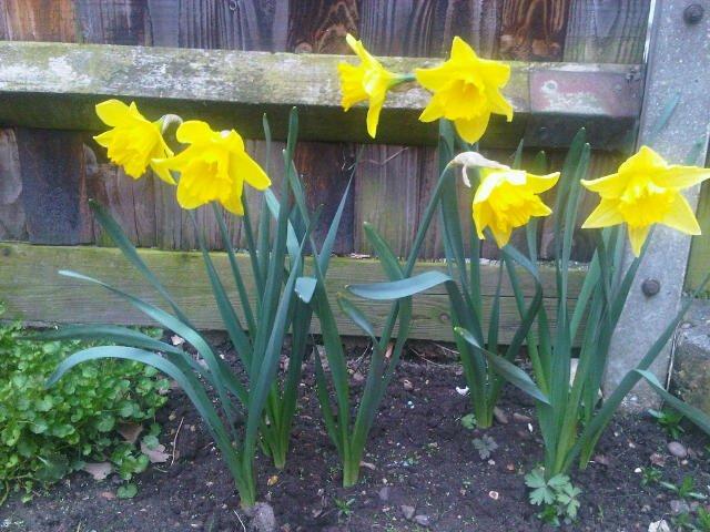 Daffodils growing in garden